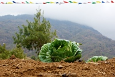 Local vegetables are grown by the local villagers and cabbage is one of the more popular varieties, seen here with the ever present prayer flags