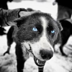 Husky dog sled trip on the Juneau glacier field, Juneau, Alaska