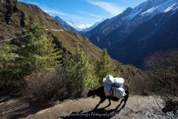 A Dzo heads up the trail between Namche Bazaar and Tengboche.