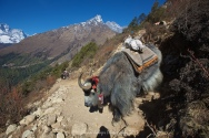 Yaks head down the trail from Tengboche towards Namche Bazaar.