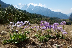 Blue flowers were commonly seen by the trail in this section between Phakding and Lukla.