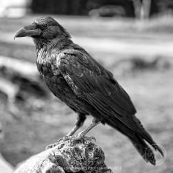 Black crow below El Capitan, Yosemite National Park, California.
