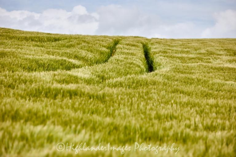 Tracks In The Corn