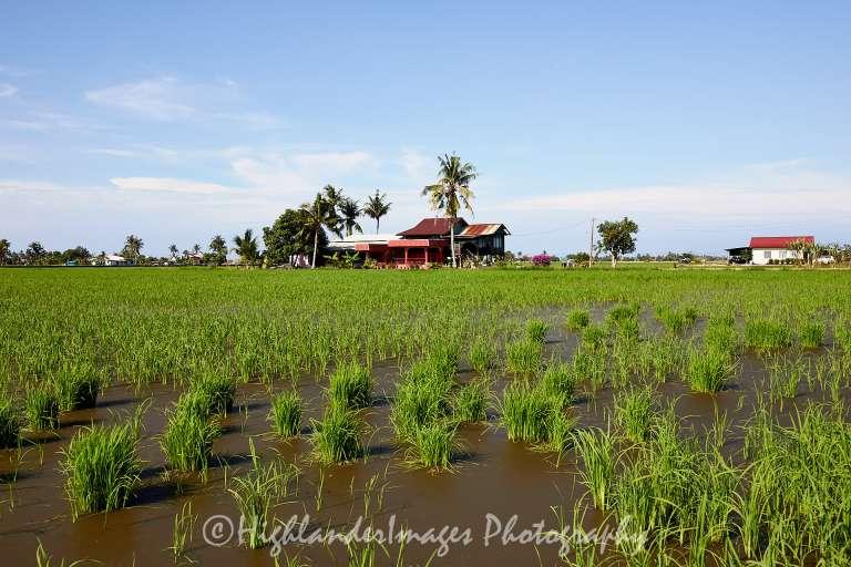Rice fields of Sekinchan, Malaysia